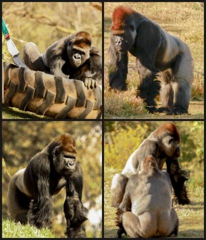zoo-gorilla-collage